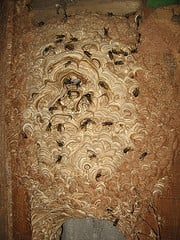 Wasps Nests Destroyed £35