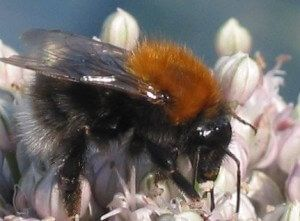 The Tree Bumblebee A Stinger