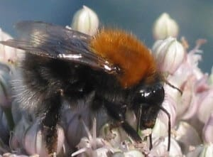 The Tree Bumblebee - A Stinger