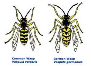 German and Common Wasps