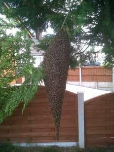 Large Honeybee Swarm In A Tree